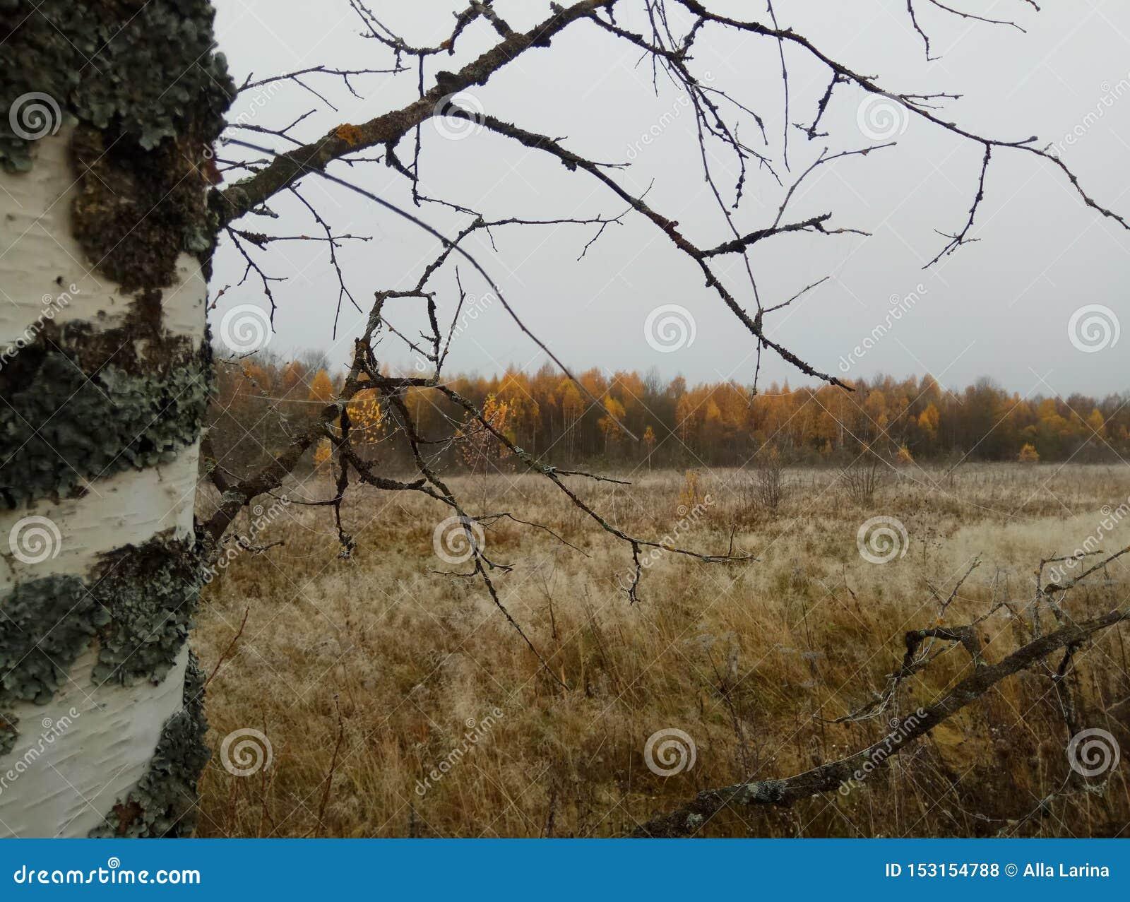 Autunno Paesaggio della foresta cielo ed alberi grigi con le foglie gialle e nessun foglie orizzonte sfondo naturale della Russia