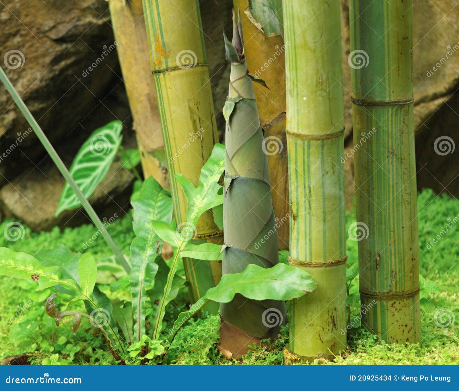 For av bambu