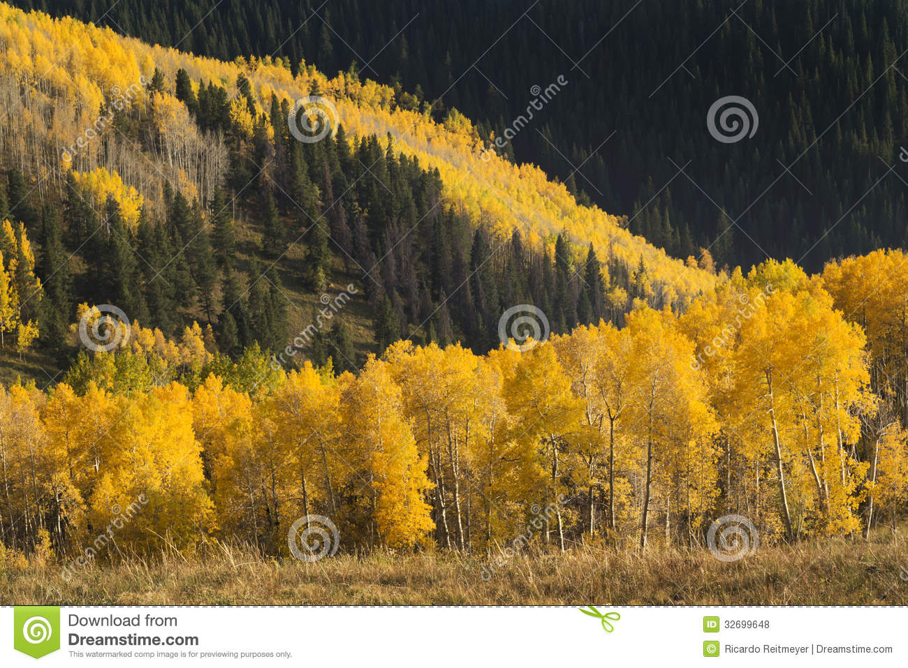 avalanche of colorful autumn golden aspen trees in stock