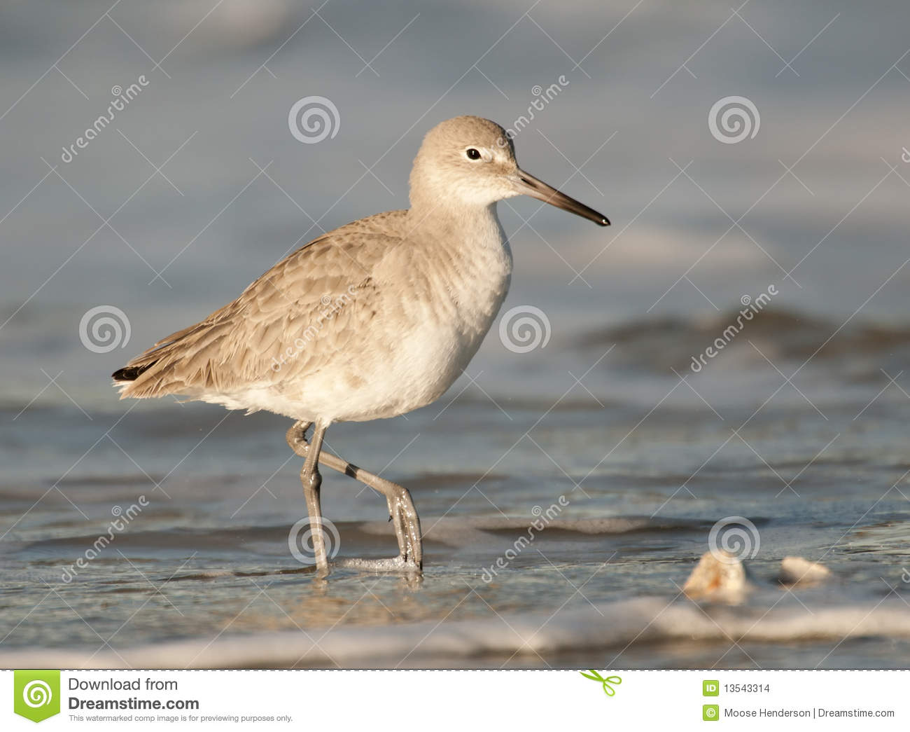 Ave costera del este de Willet