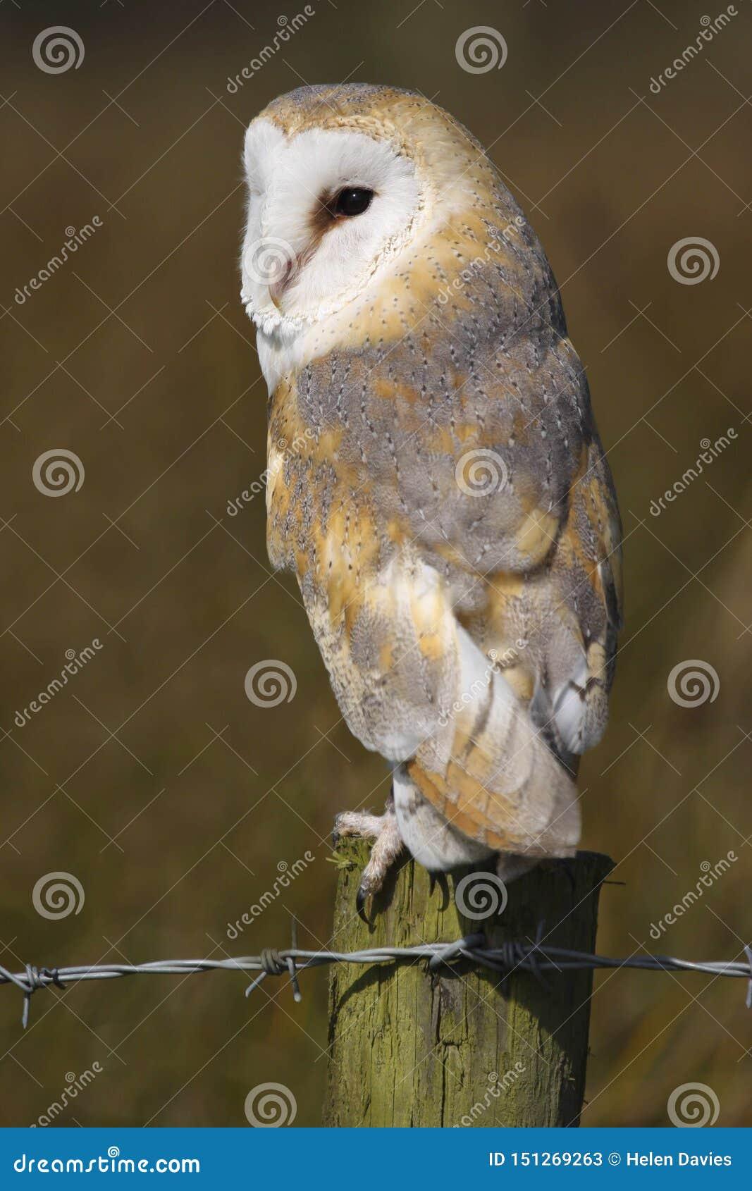 Ave rapaz alba de Owl Tyto del granero