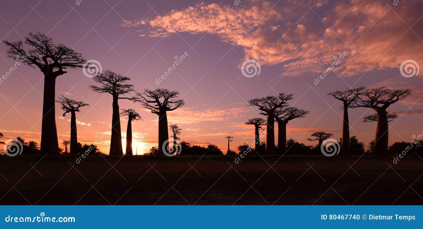 Avenida dos baobabs, Madagáscar