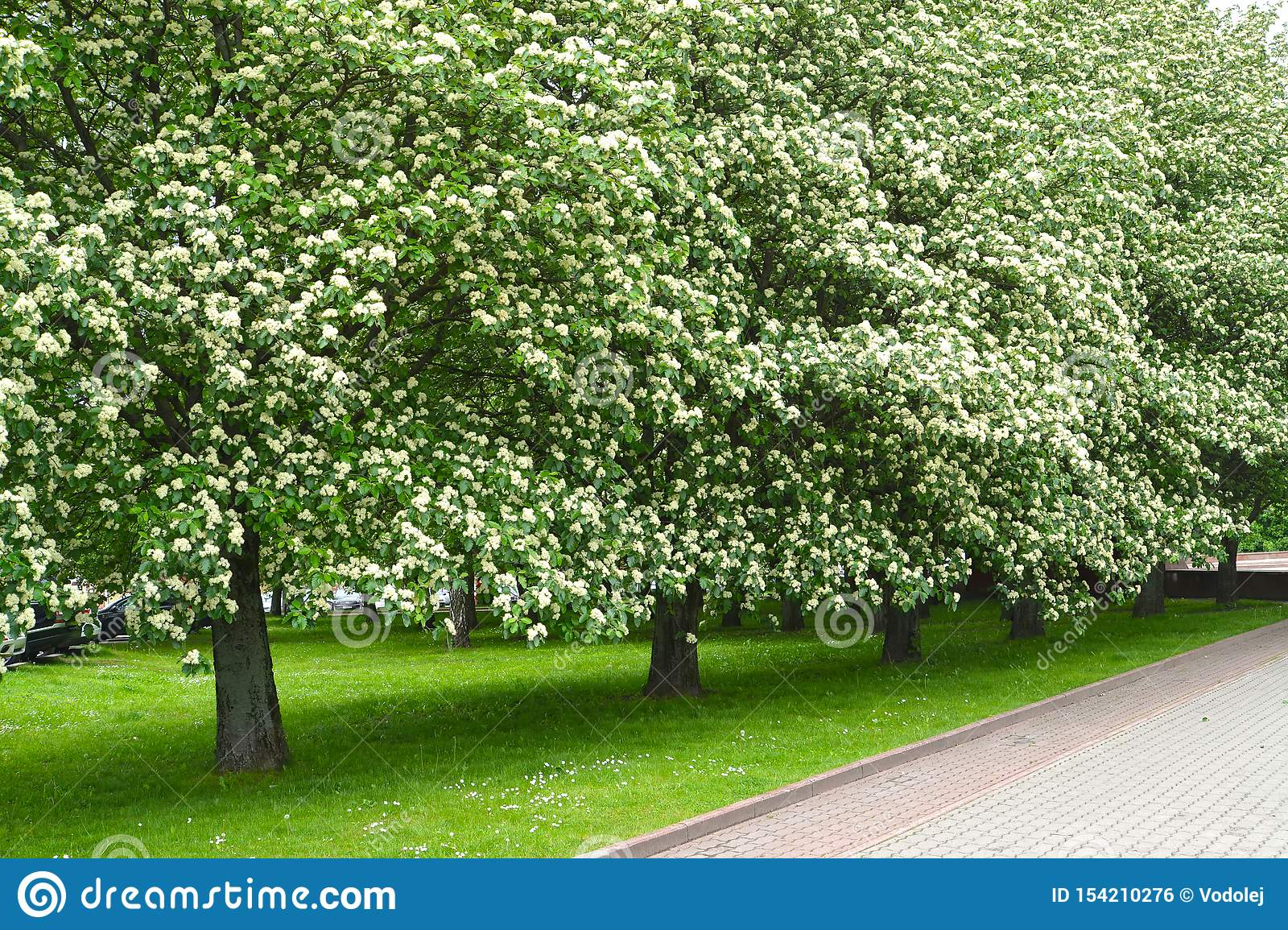The avenue of the blossoming trees of a mountain ash Scandinavian Sorbus intermedia Ehrh. Pers. Spring