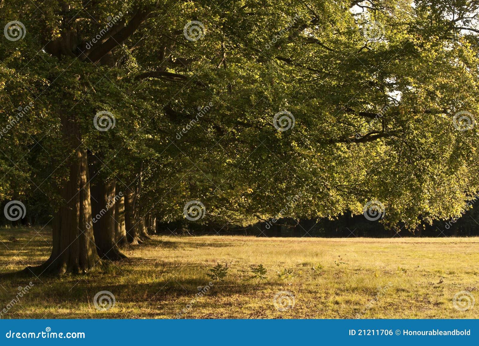 avenue de vieux arbres de ch ne dans le bout du soleil d. Black Bedroom Furniture Sets. Home Design Ideas