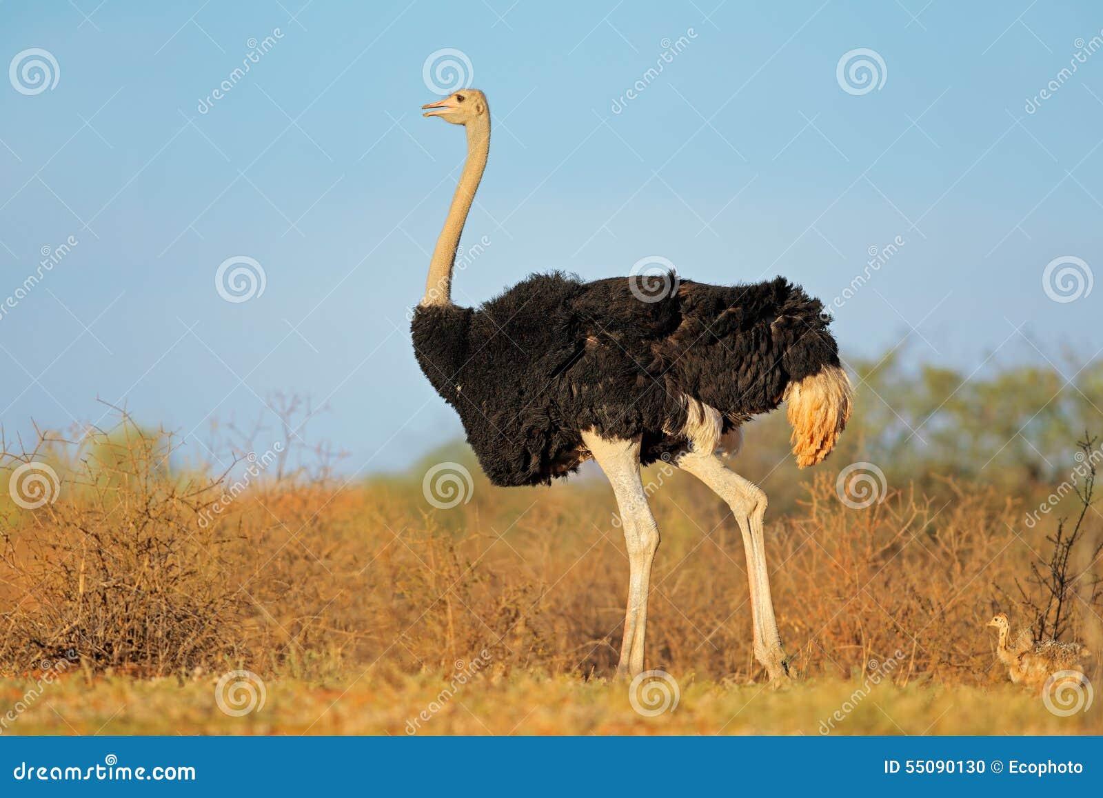 Avestruz com pintainhos