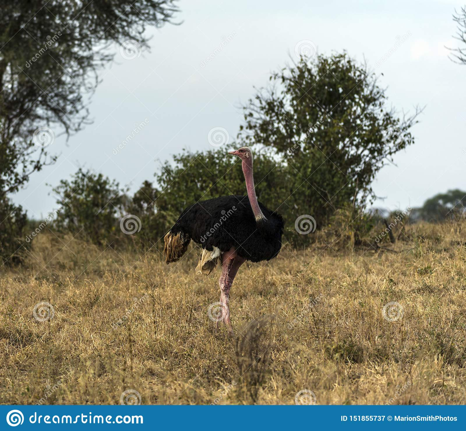 Avestruz do Masai, igualmente conhecida como a avestruz cor-de-rosa-necked