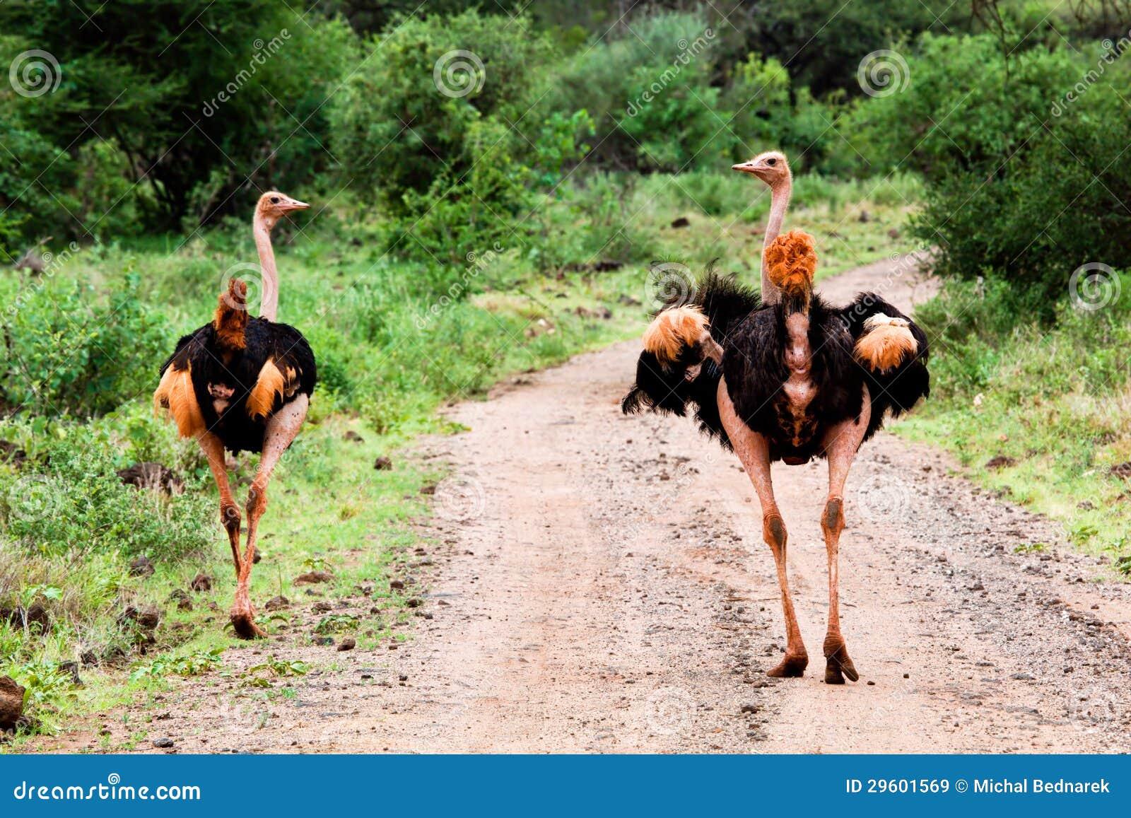 Avestruz dos en el camino en el arbusto, Tsavo del oeste, Kenia