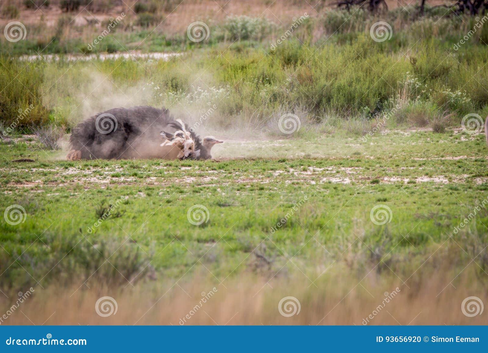 Avestruz que tiene un baño del polvo en Kgalagadi