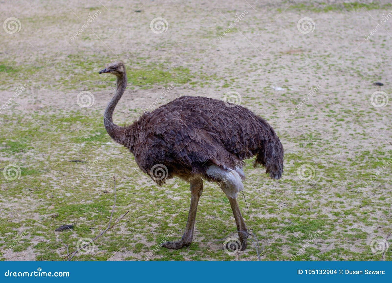Avestruz UEM en parque zoológico