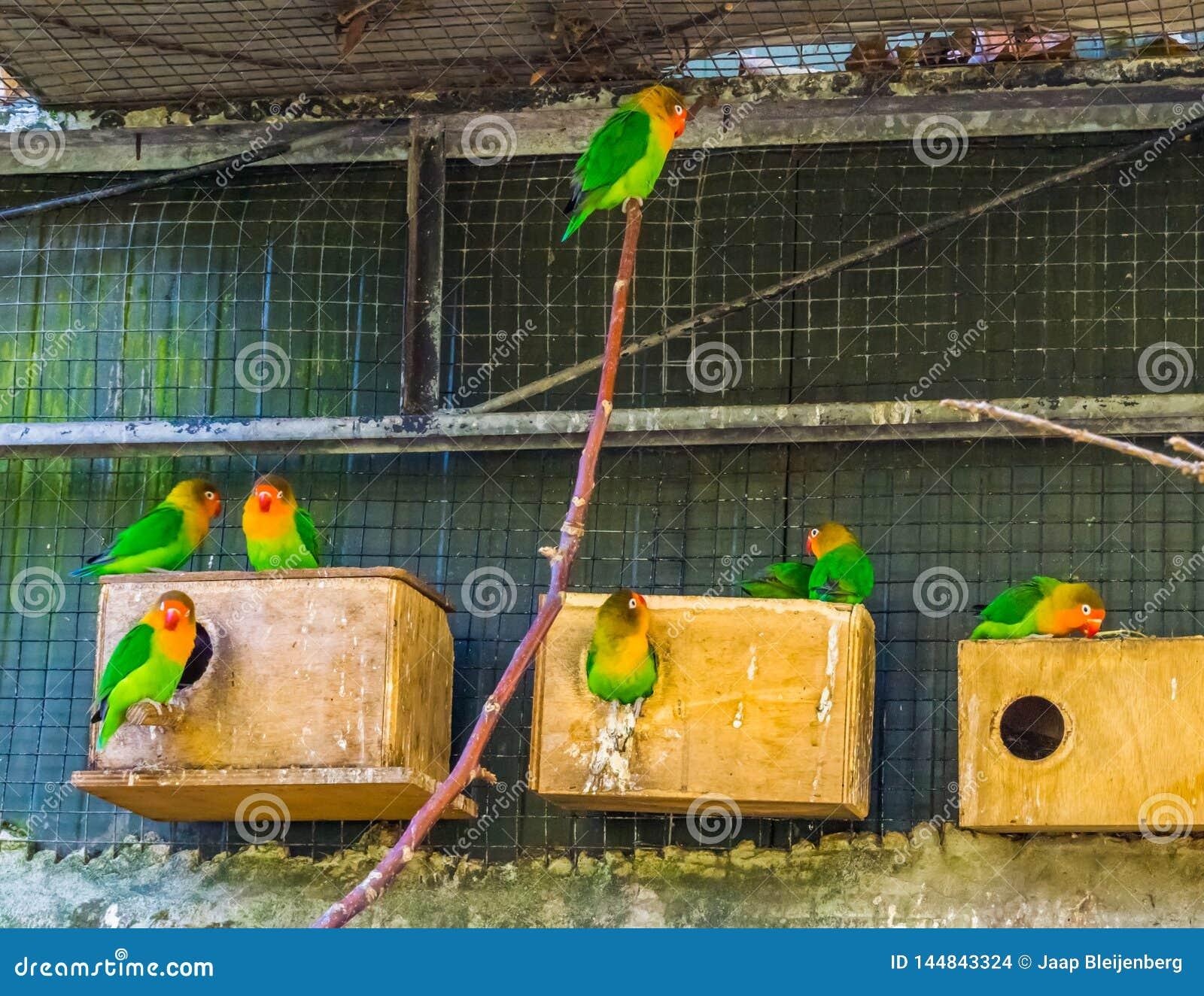 Aviário completo com periquitos de fischer, pássaros tropicais coloridos de África, animais de estimação populares no avicul