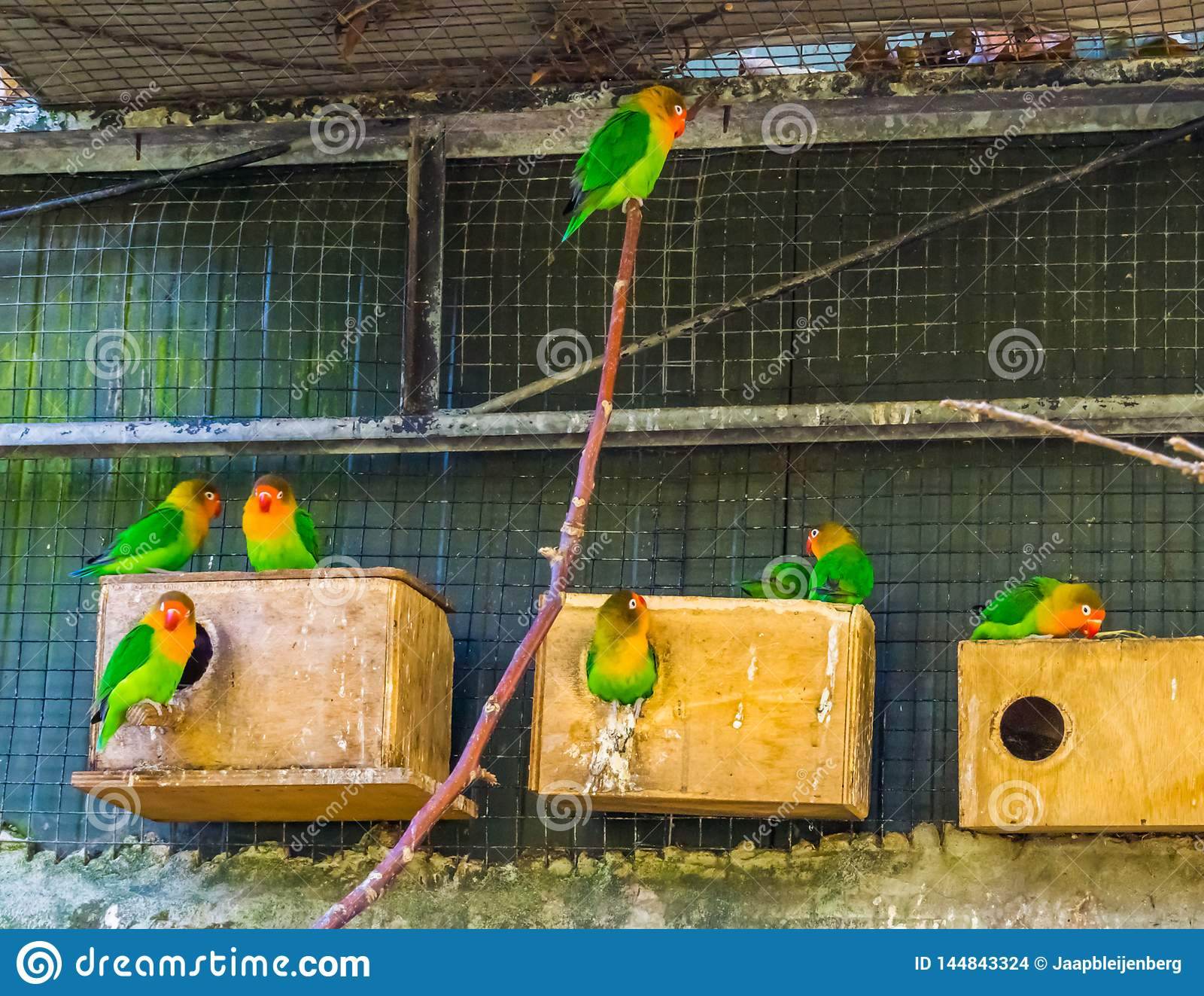 Aviarium som är full med fischers dvärgpapegojor, färgrika tropiska fåglar från Afrika, populära husdjur i aviculture