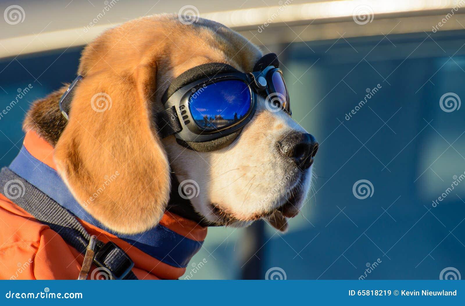 Aviateur Dog