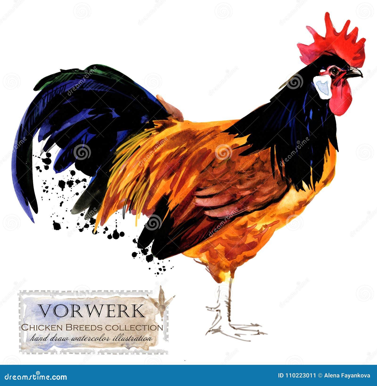 Avicoltura Il pollo cresce serie uccello domestico dell azienda agricola