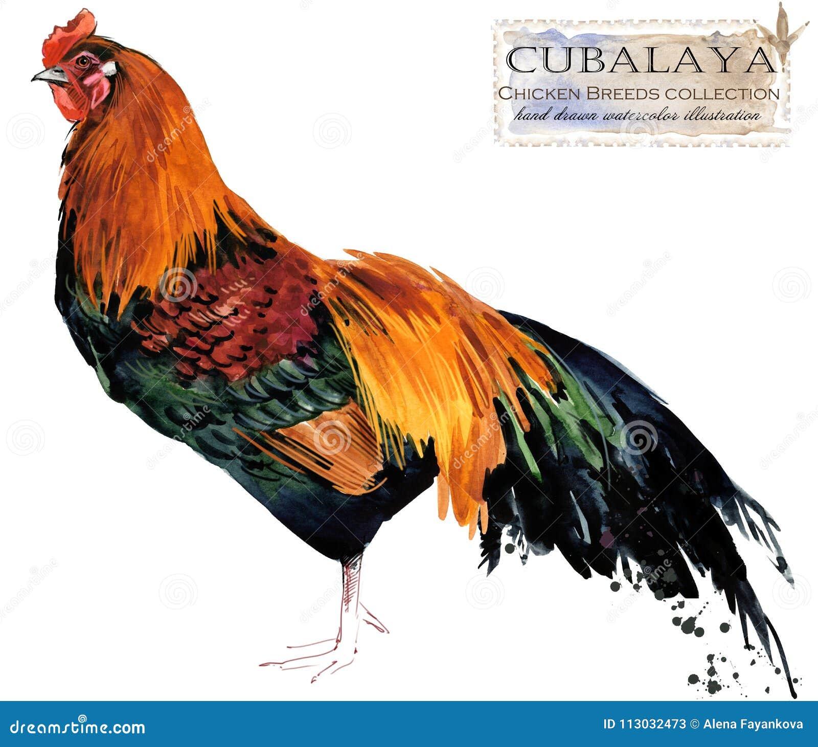 Avicultura El pollo cría serie pájaro nacional de la granja