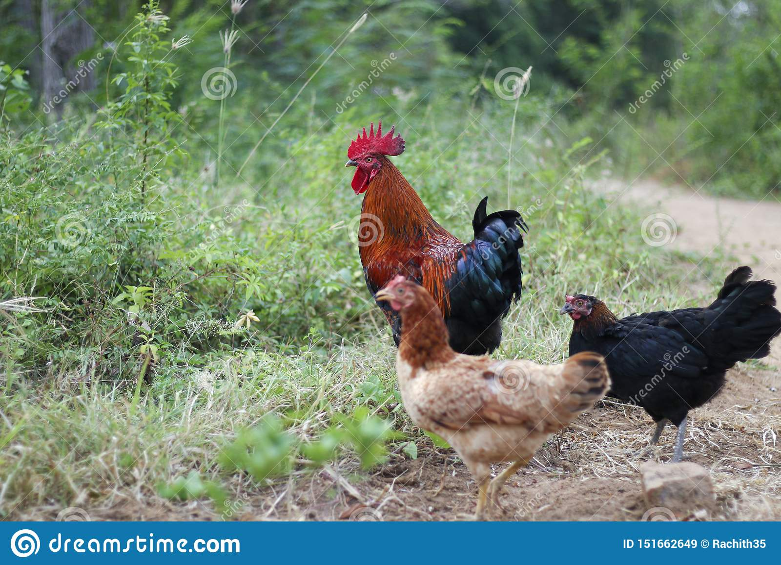 Avicultura libre de la gama en Sri Lanka