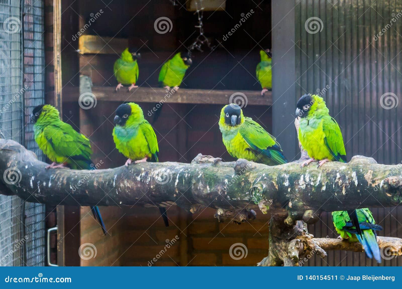 Aviculture aviarium som är full med nanday parakiter, populära husdjur i tropiska och färgrika fåglar för aviculture, från Amerik