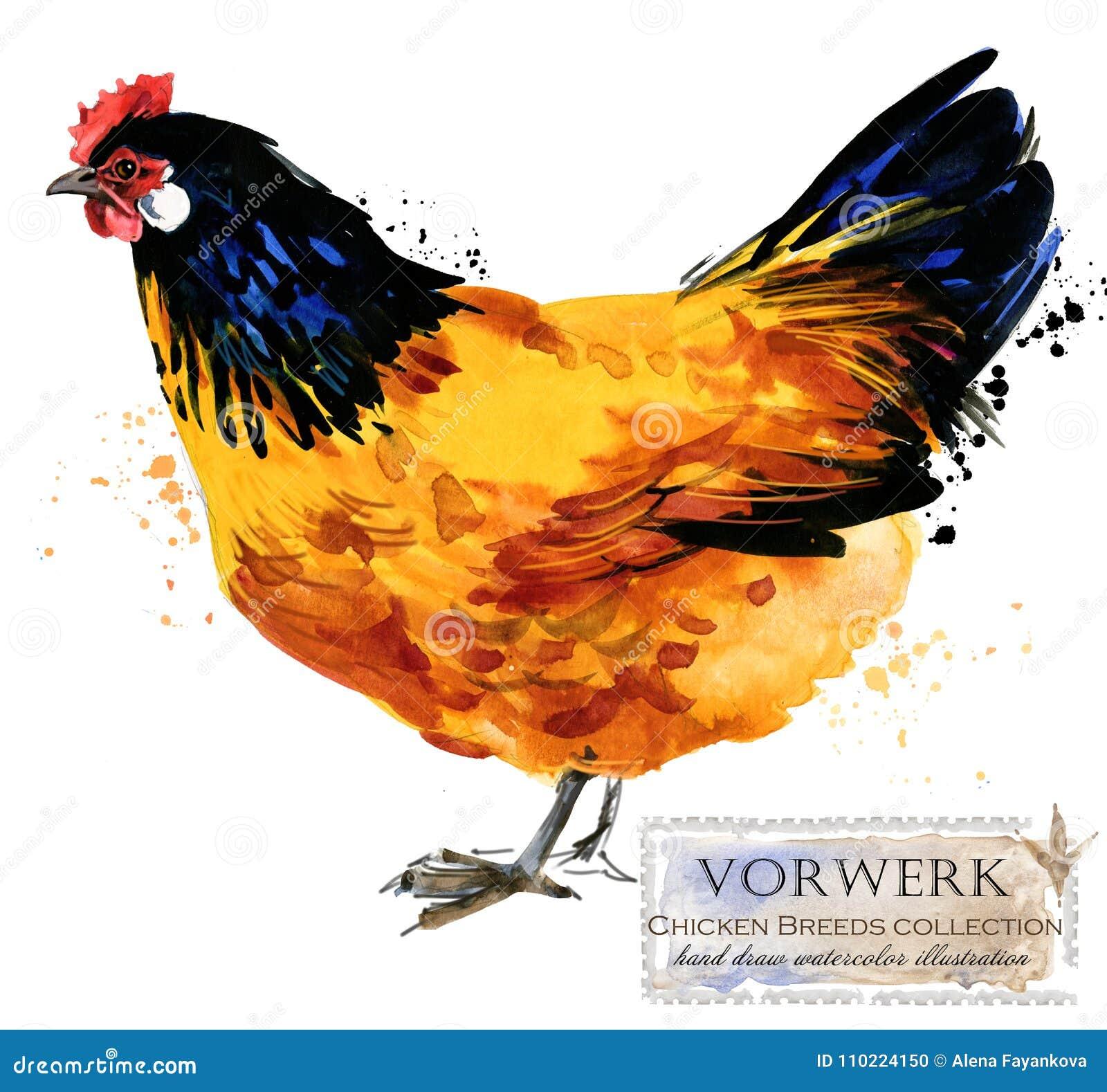 Aviculture Le poulet multiplie la série oiseau domestique de ferme