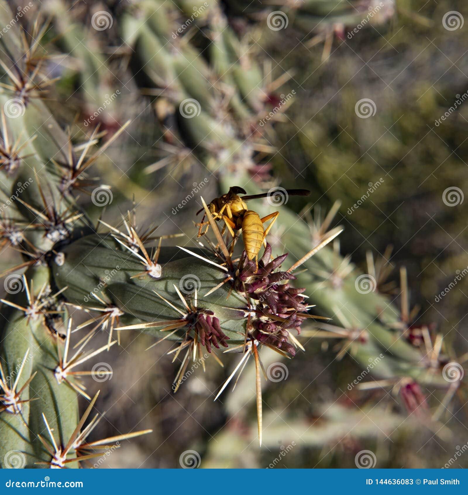 Avispa amarilla en un cactus de Cholla, segundo rastro del agua, montañas de la superstición, Arizona