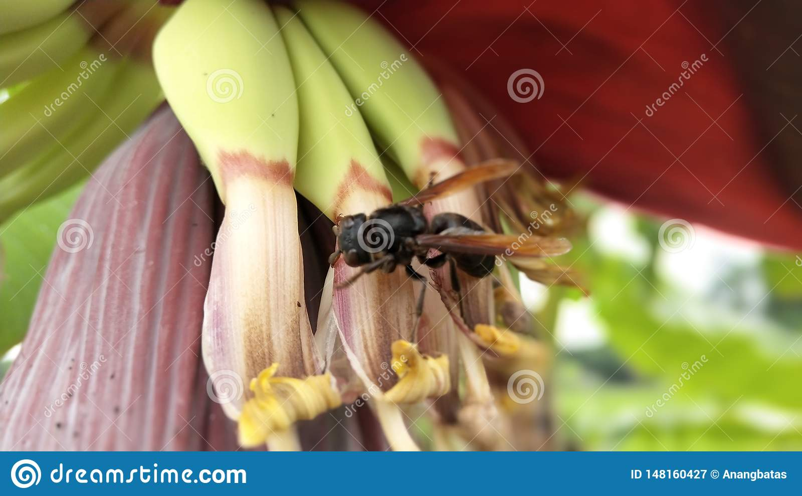 Avispa negra encaramada en un árbol de plátano con la fruta joven del plátano