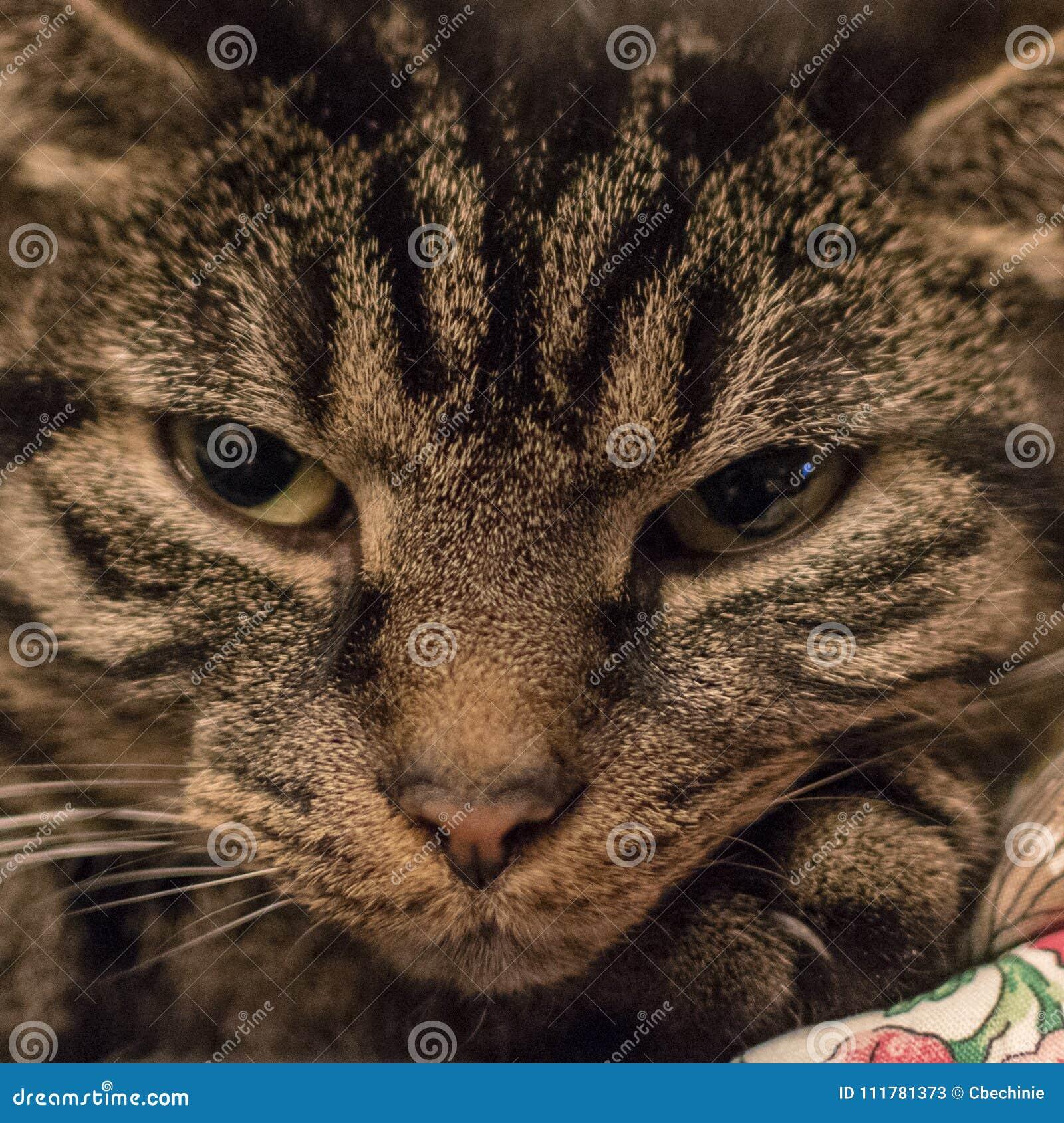 Avkopplad gullig och randig katt kort efter som vaknar upp