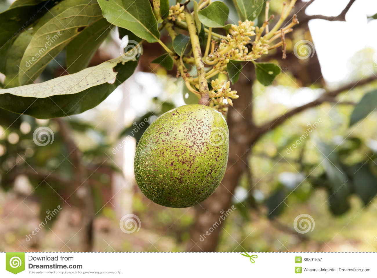 Avocado fruit on tree  stock image  Image of care, extracts