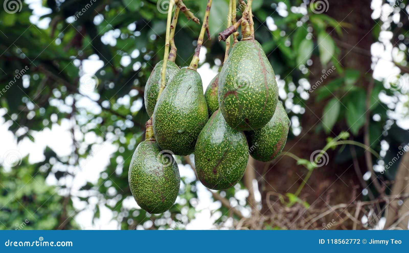 The Avocado on the tree
