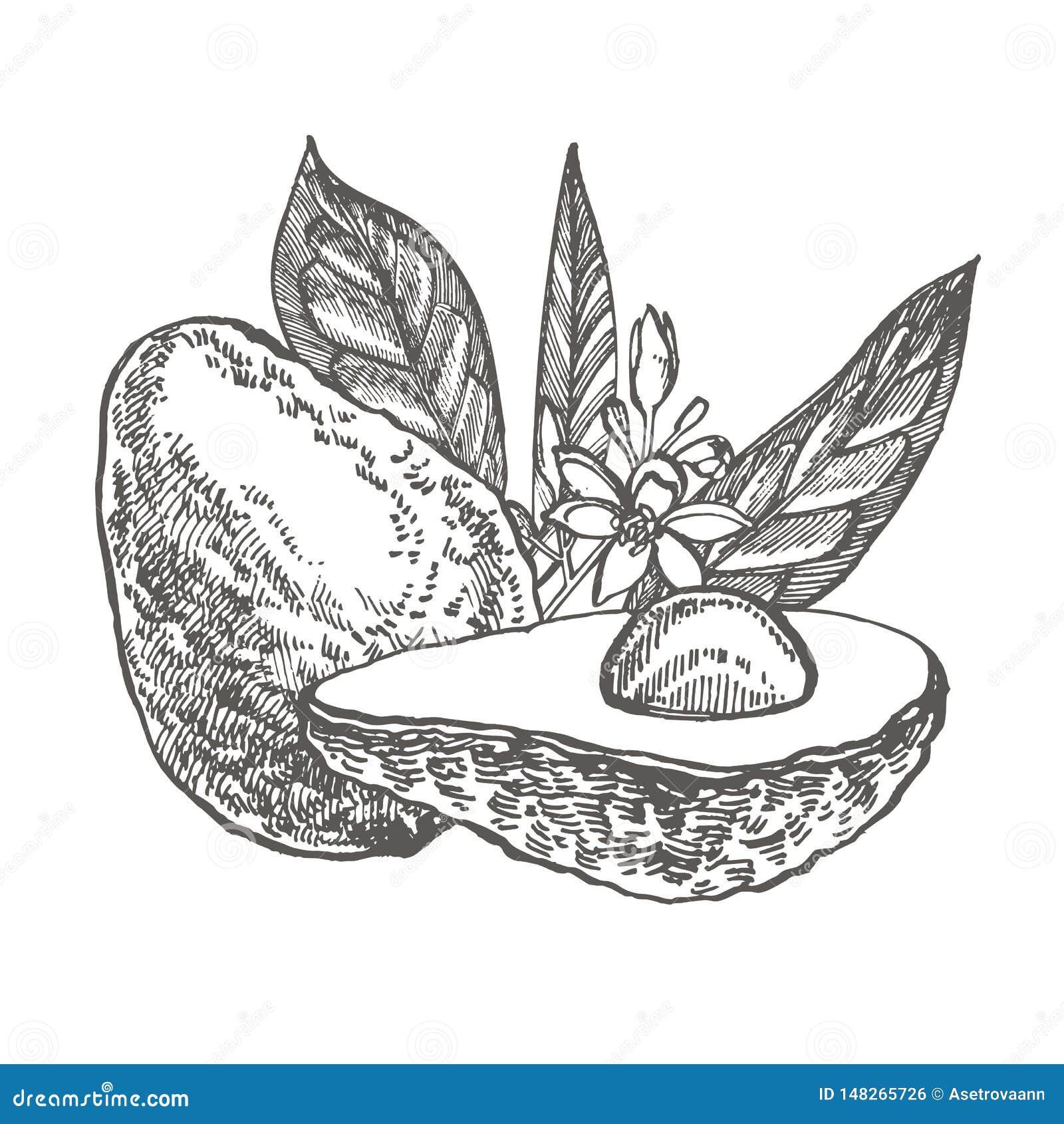 Avocado Wektorowa r?ka rysowa? ilustracje Tropikalna owoc graweruj?ca lato stylowa ilustracja