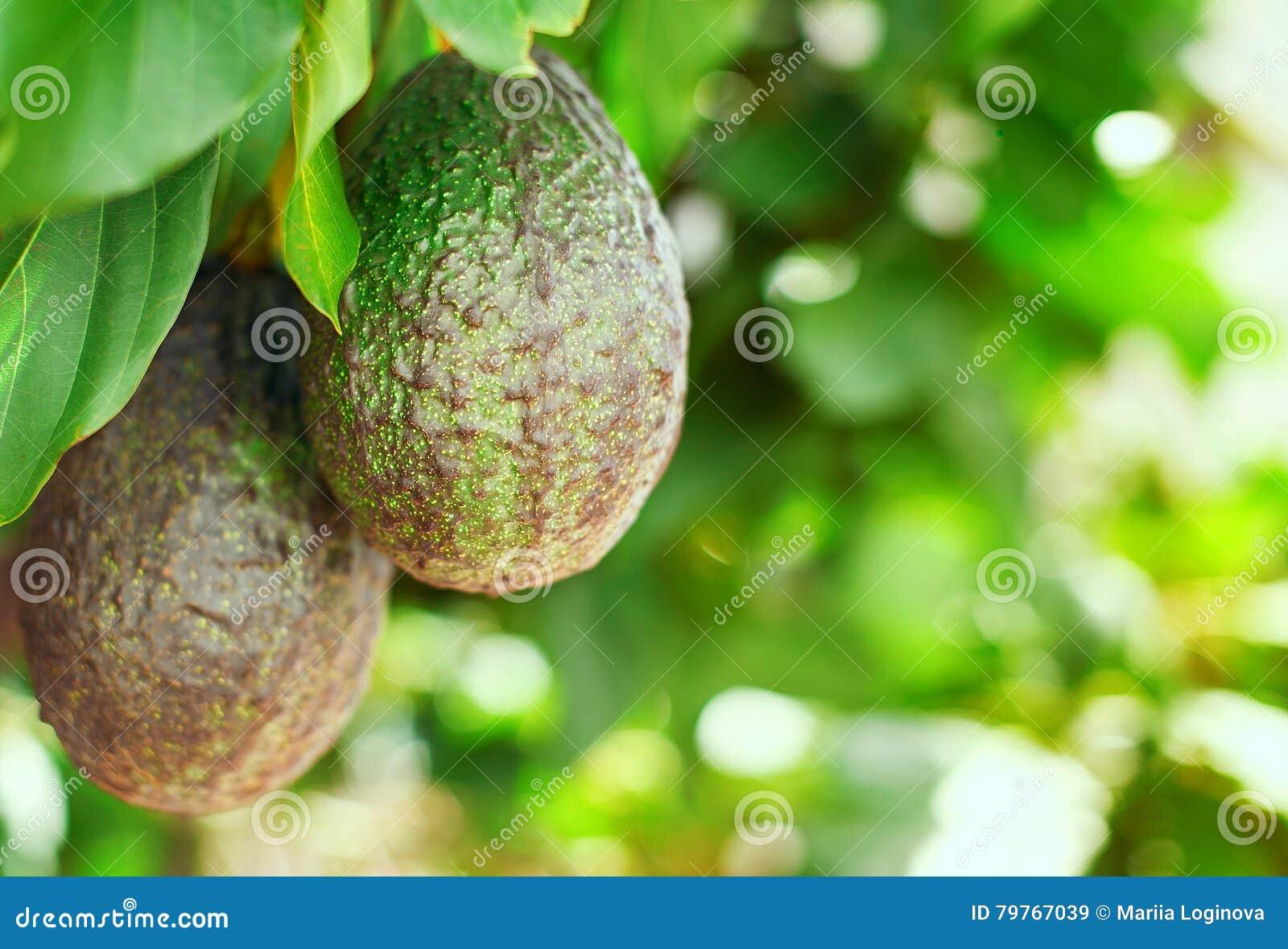 Avocadofruit op de boom