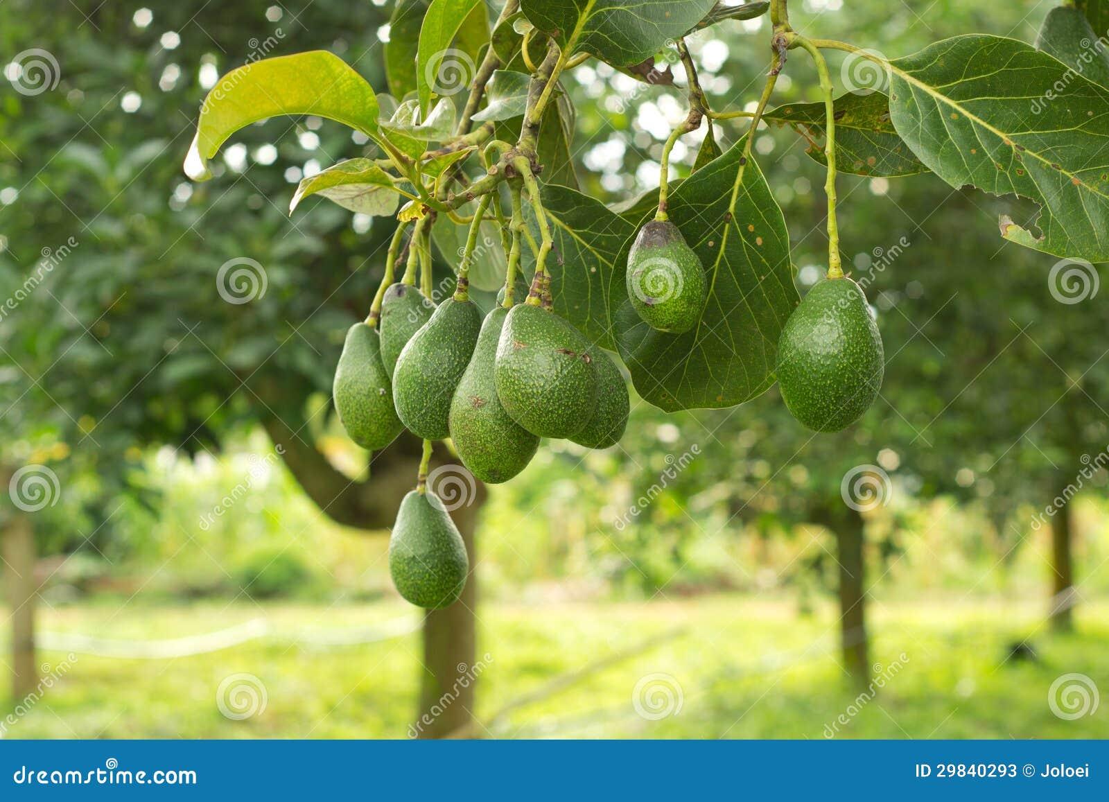 avocadobaum stockbild bild von organisch bestandteil 29840293. Black Bedroom Furniture Sets. Home Design Ideas