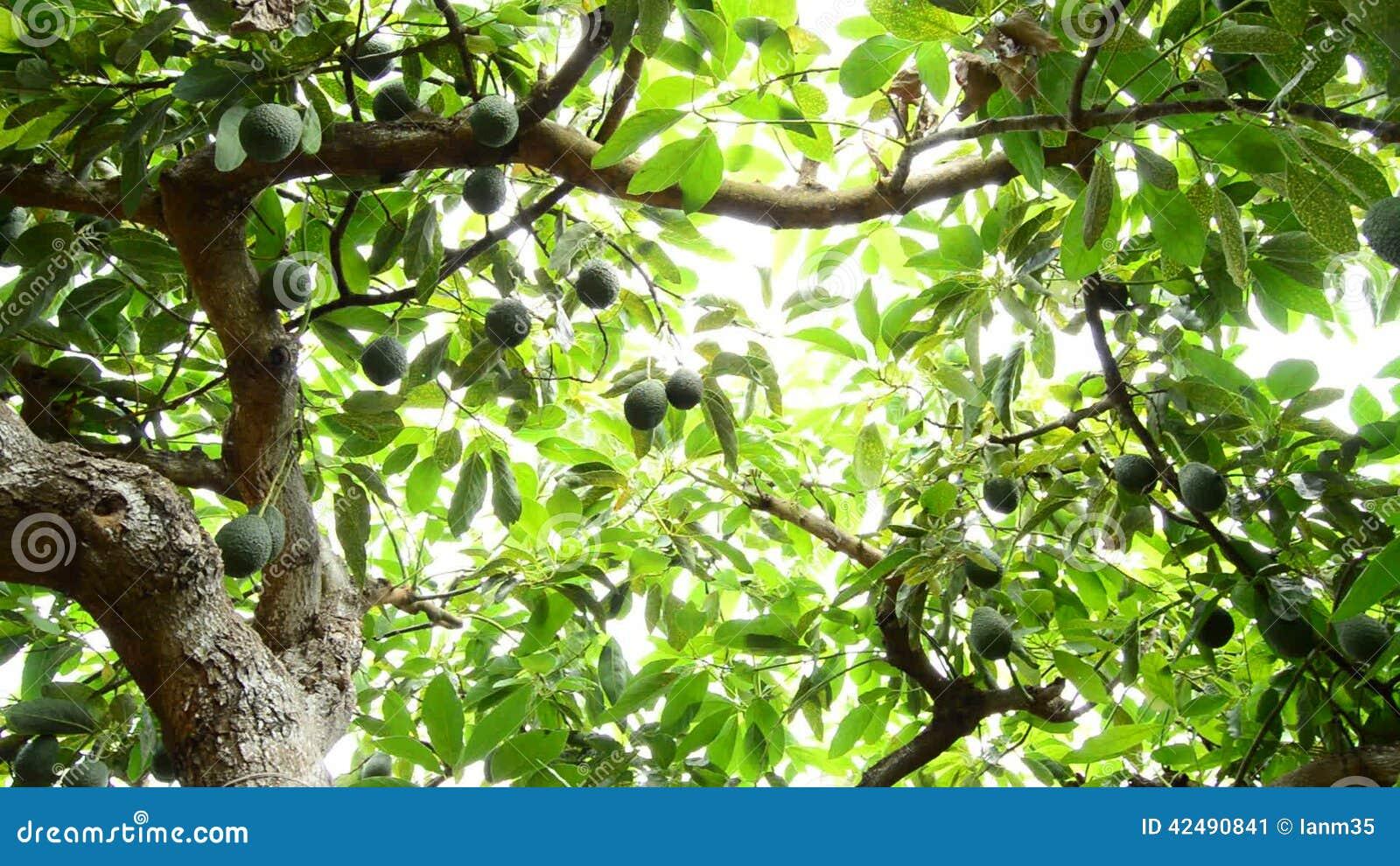 avocat dans l'arbre à la récolte clips vidéos - vidéo du moisson