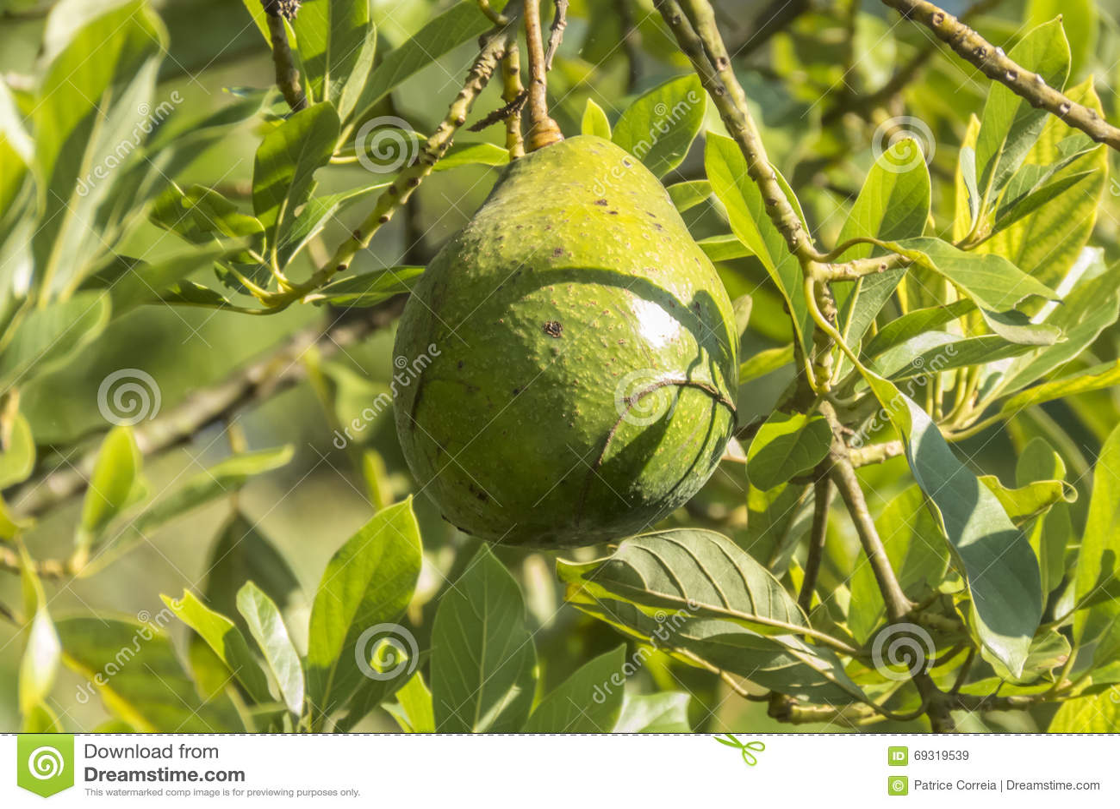 avocat dans l'arbre dans sri lanka image stock - image du lumière