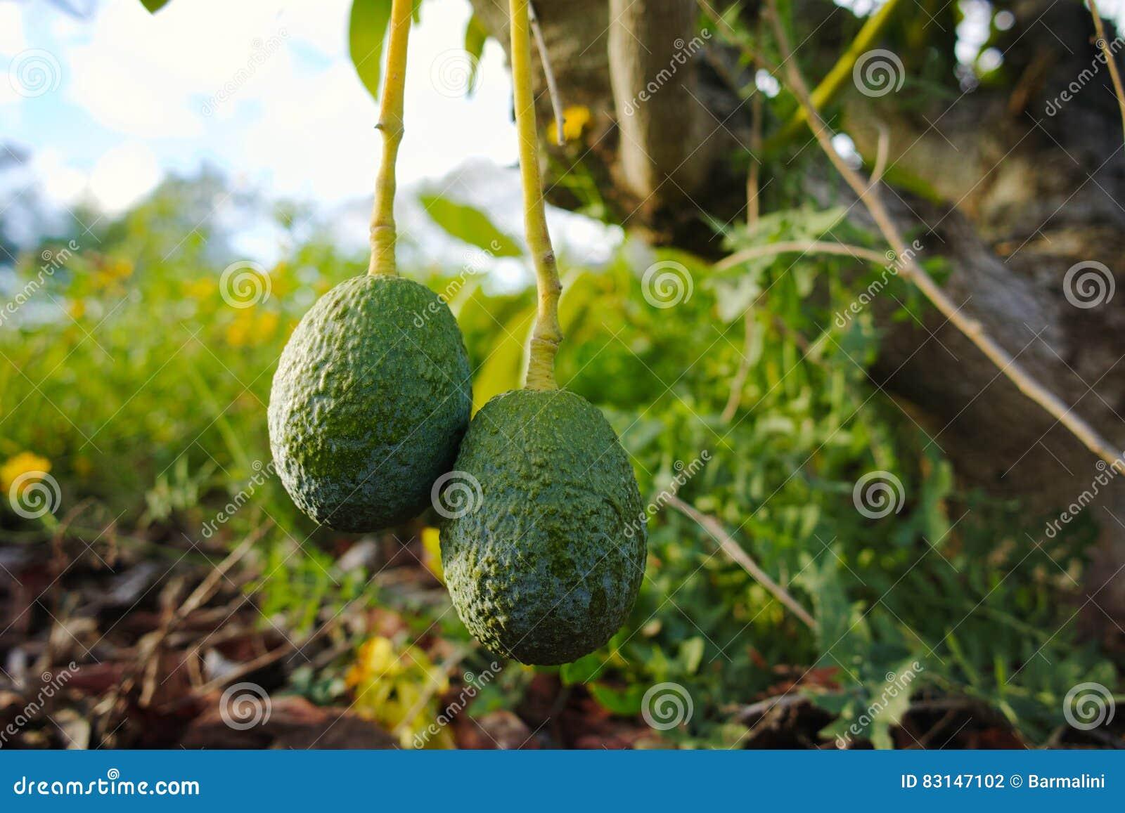 avocat mûr vert sur l'arbre, plantation d'avocat photo stock - image