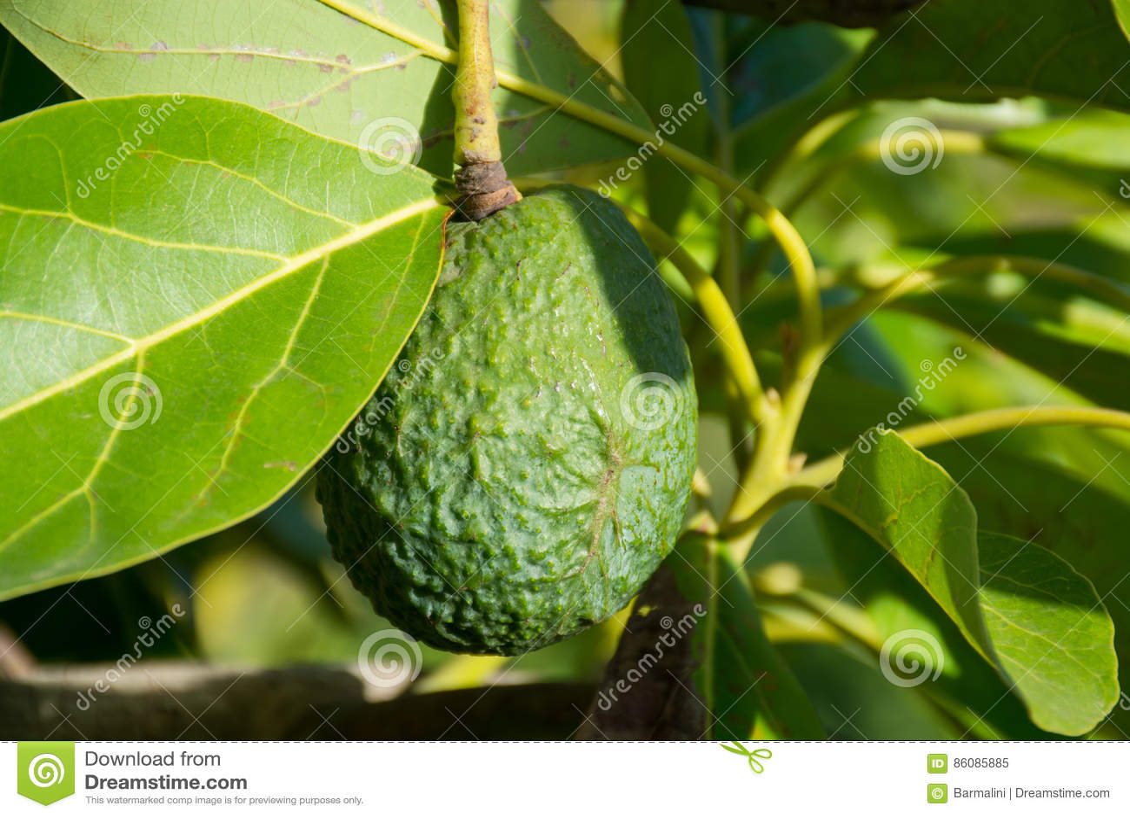 avocat mûr vert sur l'arbre, plantation d'avocat image stock - image