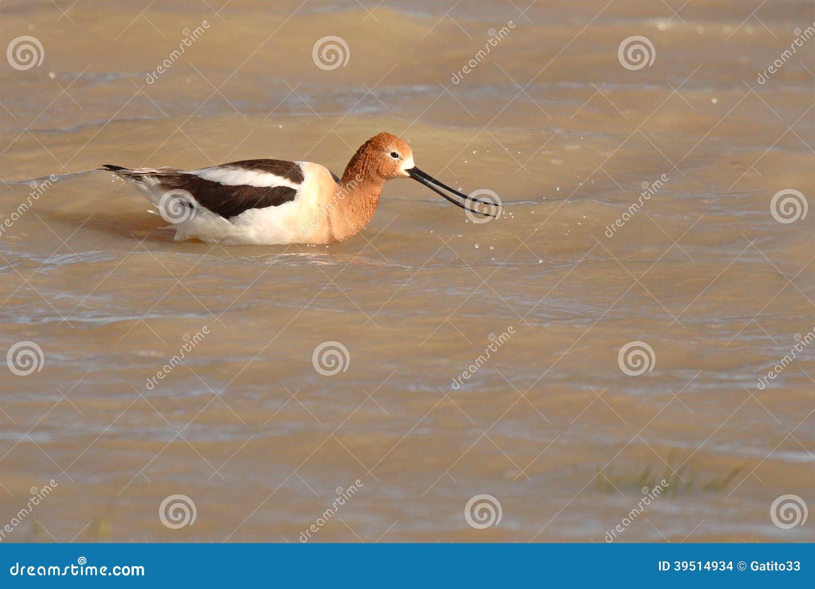 Avocet Snapping Beak
