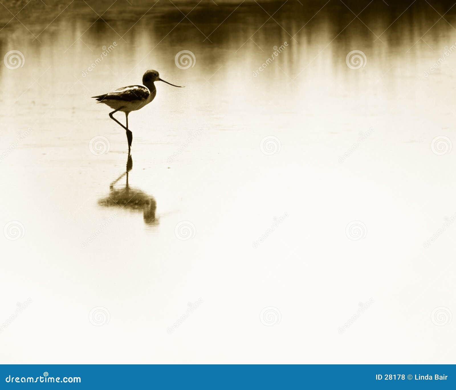 Avocet wading υγρότοποι