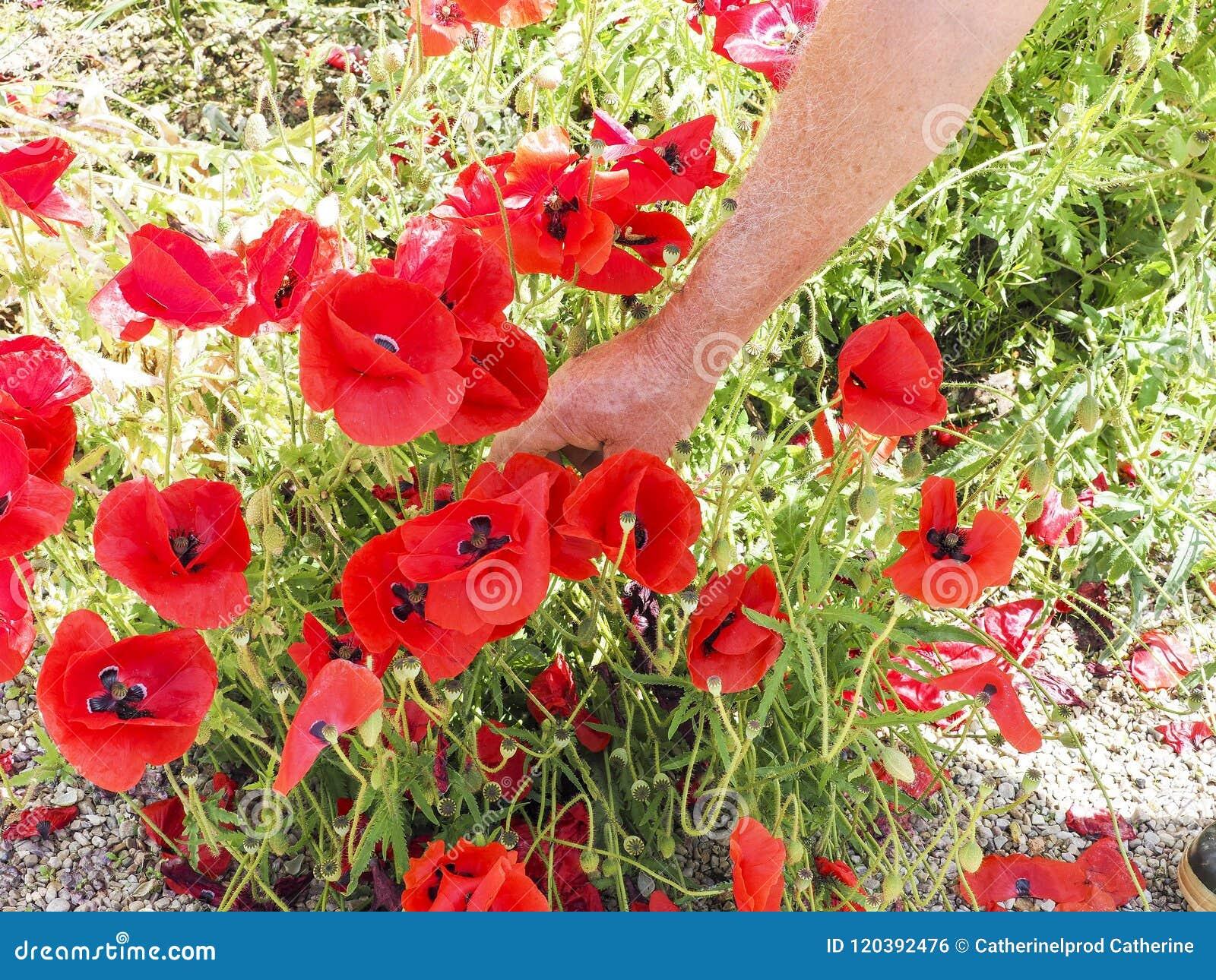 Avrivning av vallmo för en bukett Vallmo blommar i röjningen Blommande röd lös vallmo Hand av trädgårdsmästaren