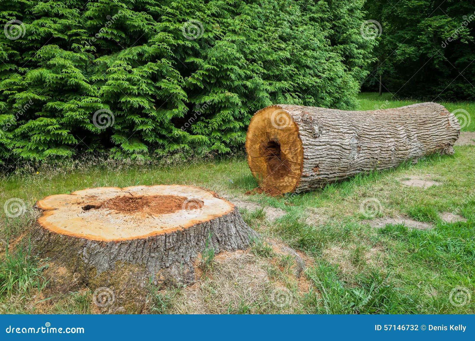 Avverkad tree