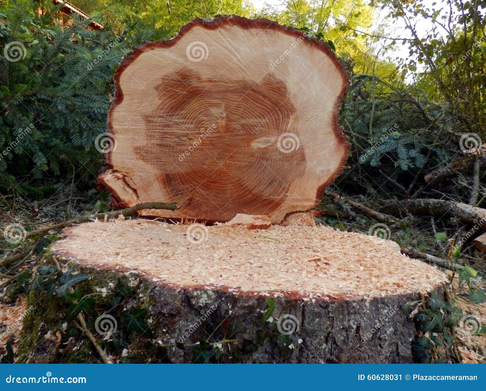 Avverkat europeiskt prydligt träd