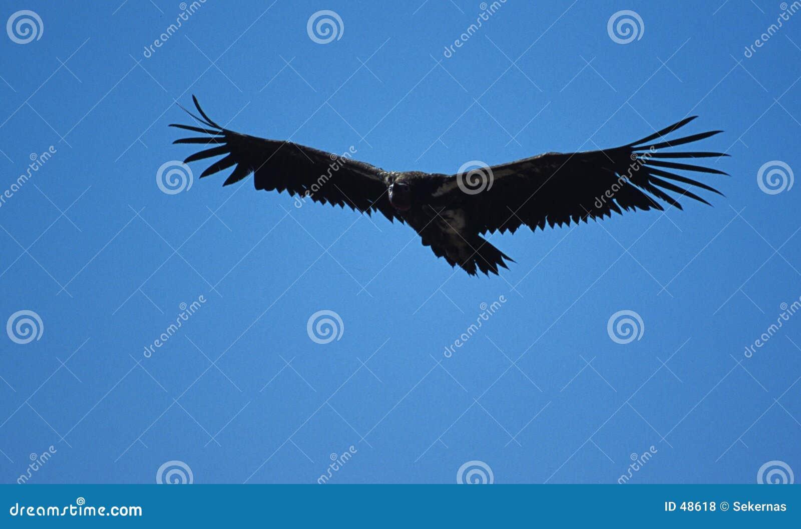 Avvoltoio in ascesa