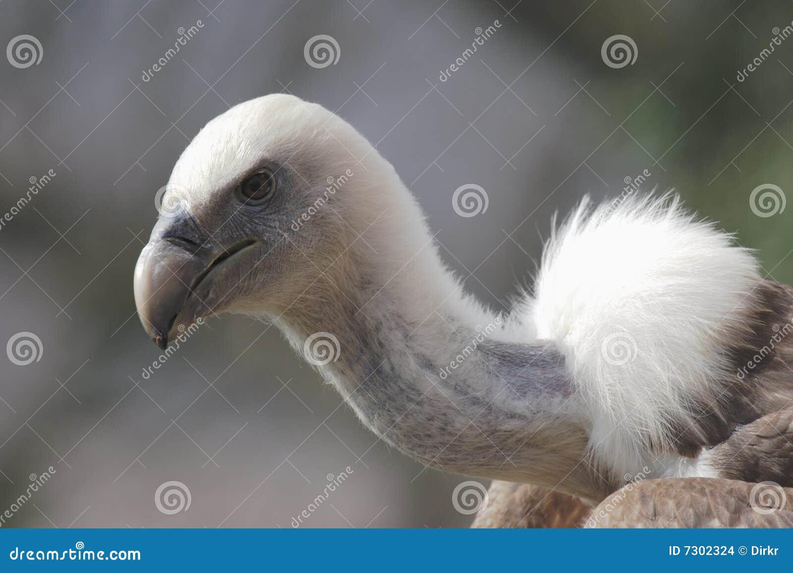 Avvoltoio di Griffon