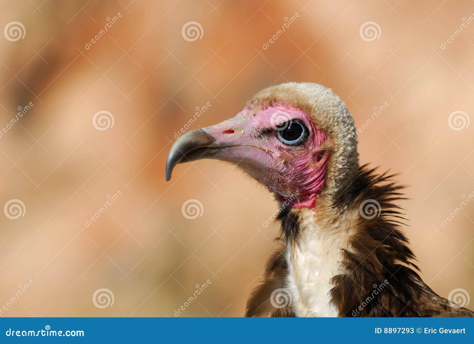 Avvoltoio incappucciato
