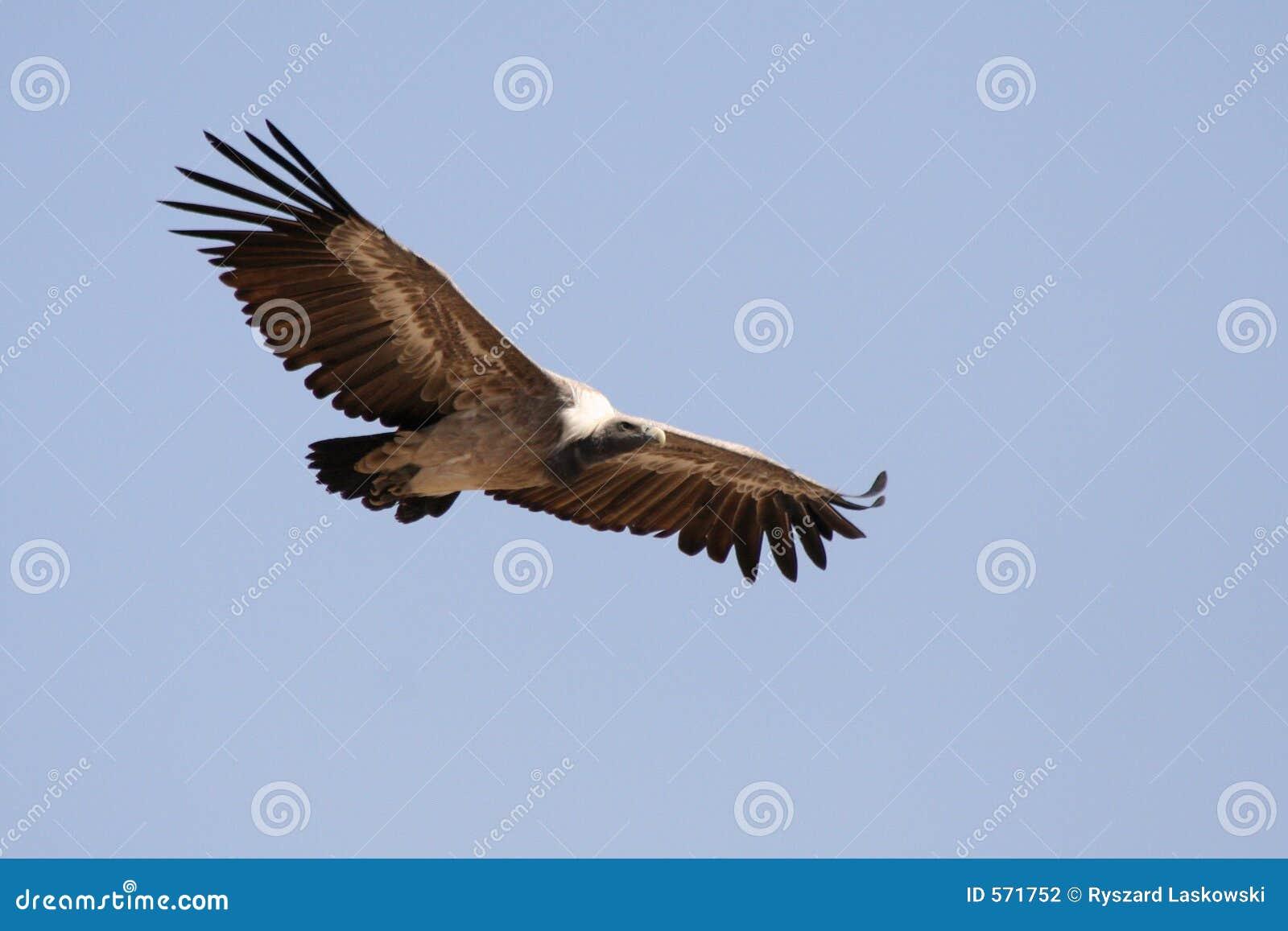 Avvoltoio, Jodhpur, Rajastan