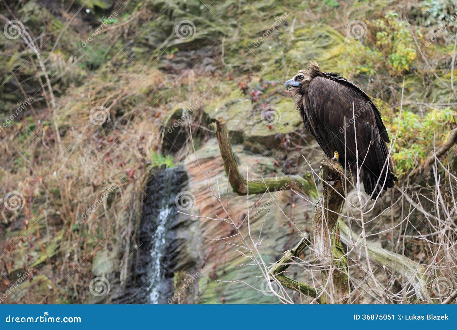 Download Avvoltoio Nero Euroasiatico Immagine Stock - Immagine di adulto, grande: 36875051