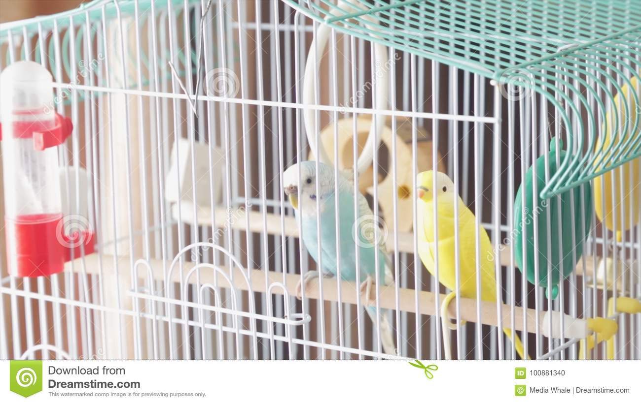 Awaiting Freedom - A Caged Yellow Beautiful Australian Parrot. Big colorful parrot in the white cage. two wavy parrots