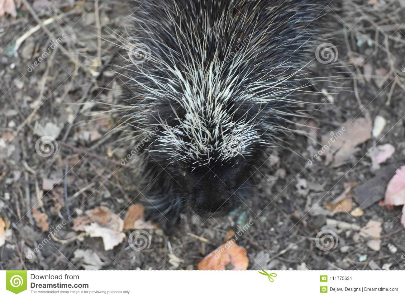 Awesome above shot of a wild porcupine with black and white quills