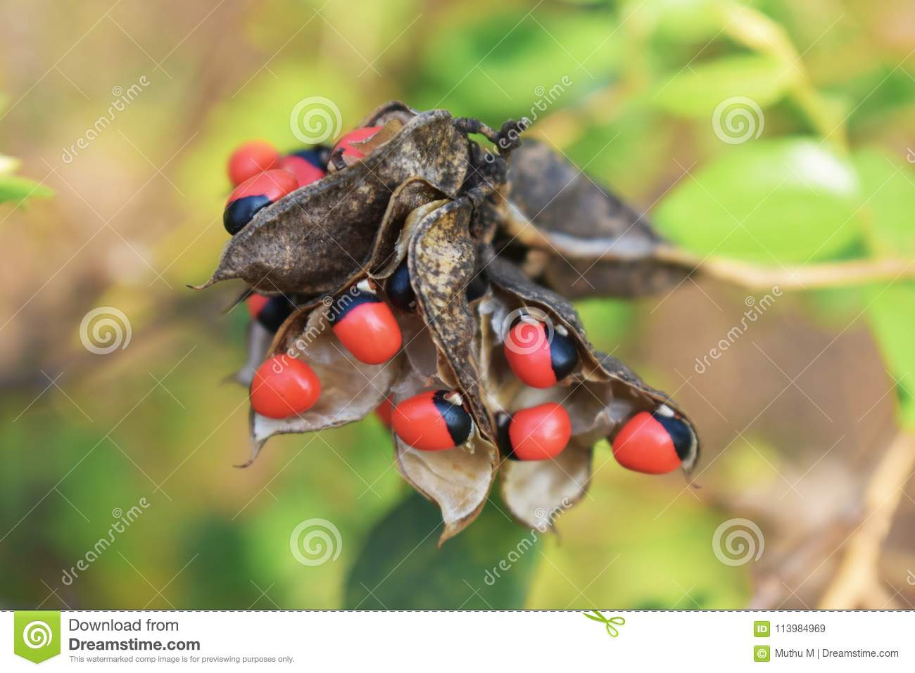 Abrus Precatorius Seeds Background Stock Image Image Of Nature