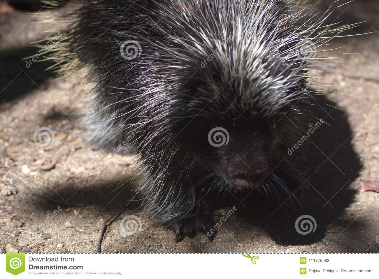 Awesome close up photo of a wild porcupine