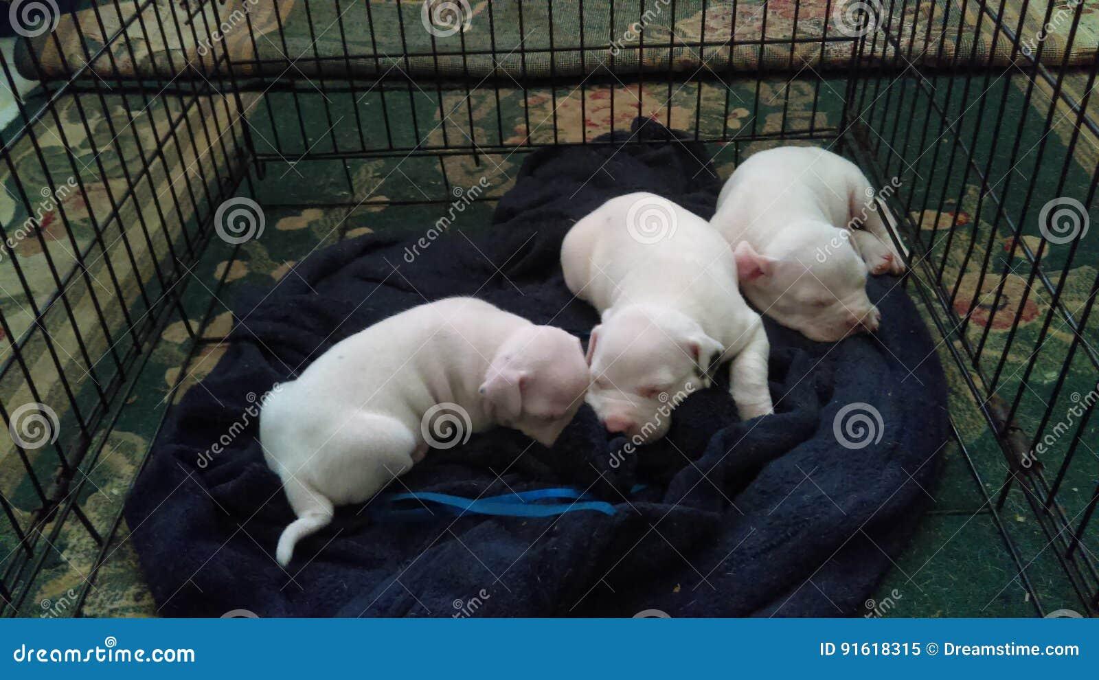 Awww All White Gotti Pitbull Puppies Snuggling Stock Image Image