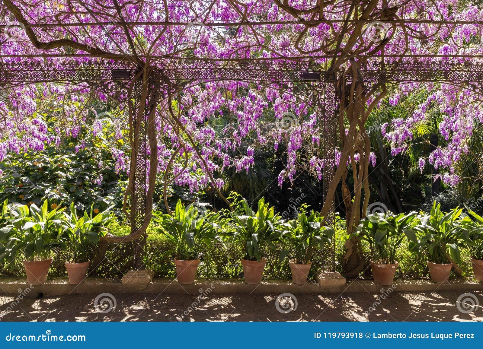 Une Glycine En Pot axe avec la glycine de pots et de fleurs photo stock - image