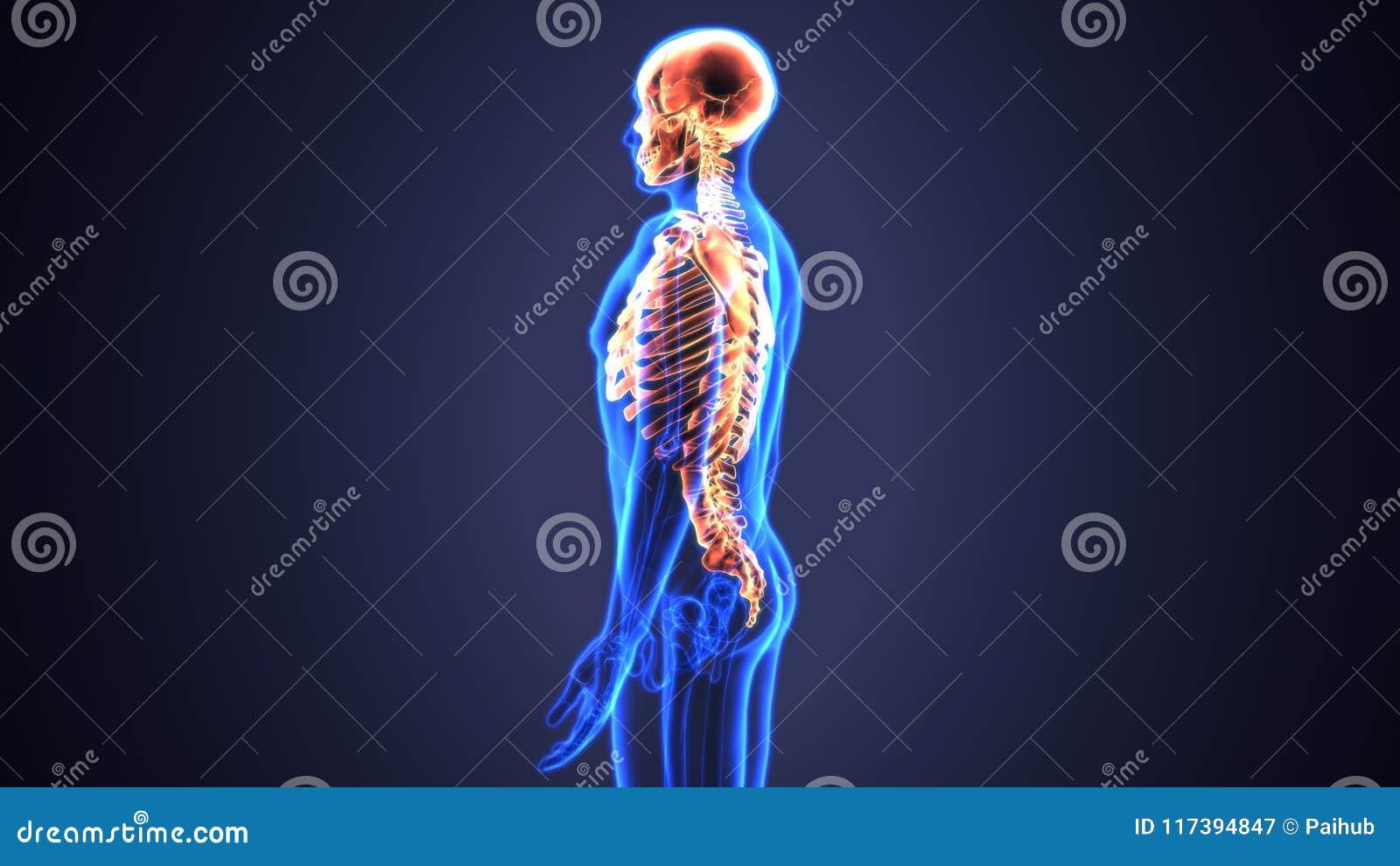 3d Illustration Of Axial Skeleton Include : Skull , Vertebral Column ...